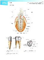 Sobotta Atlas of Human Anatomy  Head,Neck,Upper Limb Volume1 2006, page 101