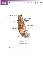 Sobotta Atlas of Human Anatomy  Head,Neck,Upper Limb Volume1 2006, page 253