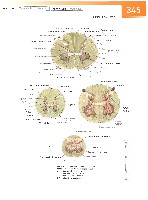 Sobotta Atlas of Human Anatomy  Head,Neck,Upper Limb Volume1 2006, page 352