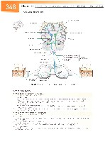 Sobotta Atlas of Human Anatomy  Head,Neck,Upper Limb Volume1 2006, page 355